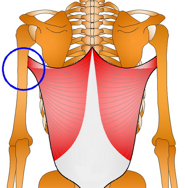 腰部肌肉矢量图